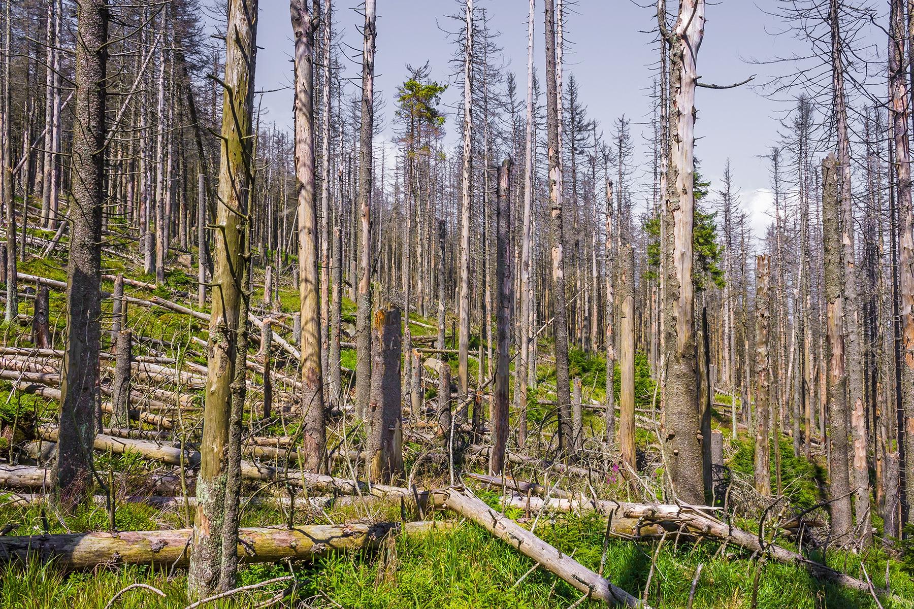 zusammengebrochener Fichtenwald am Schneelochweg