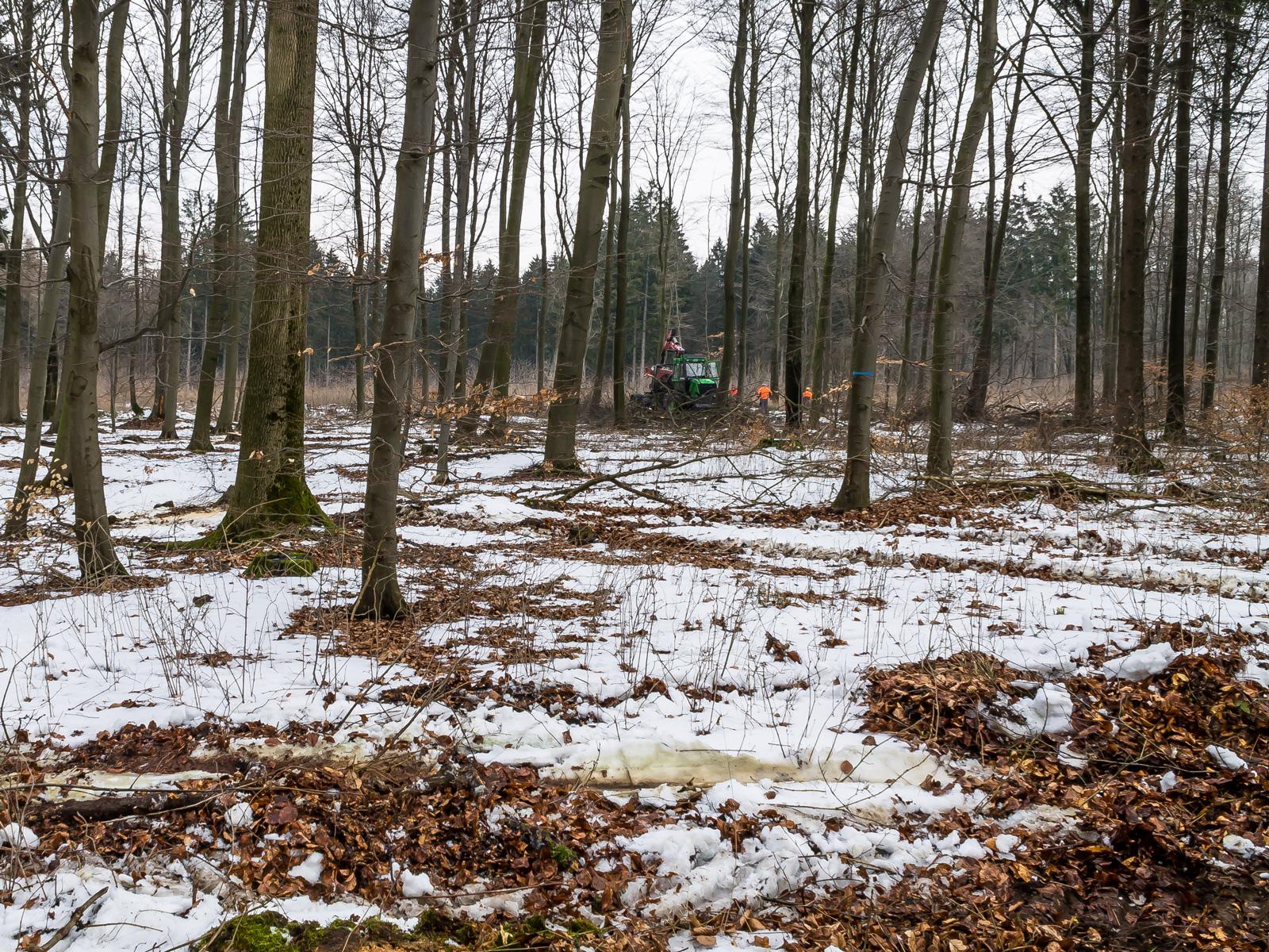 Fahrgleise kreuz und quer im Wald mit Baumstümpfen