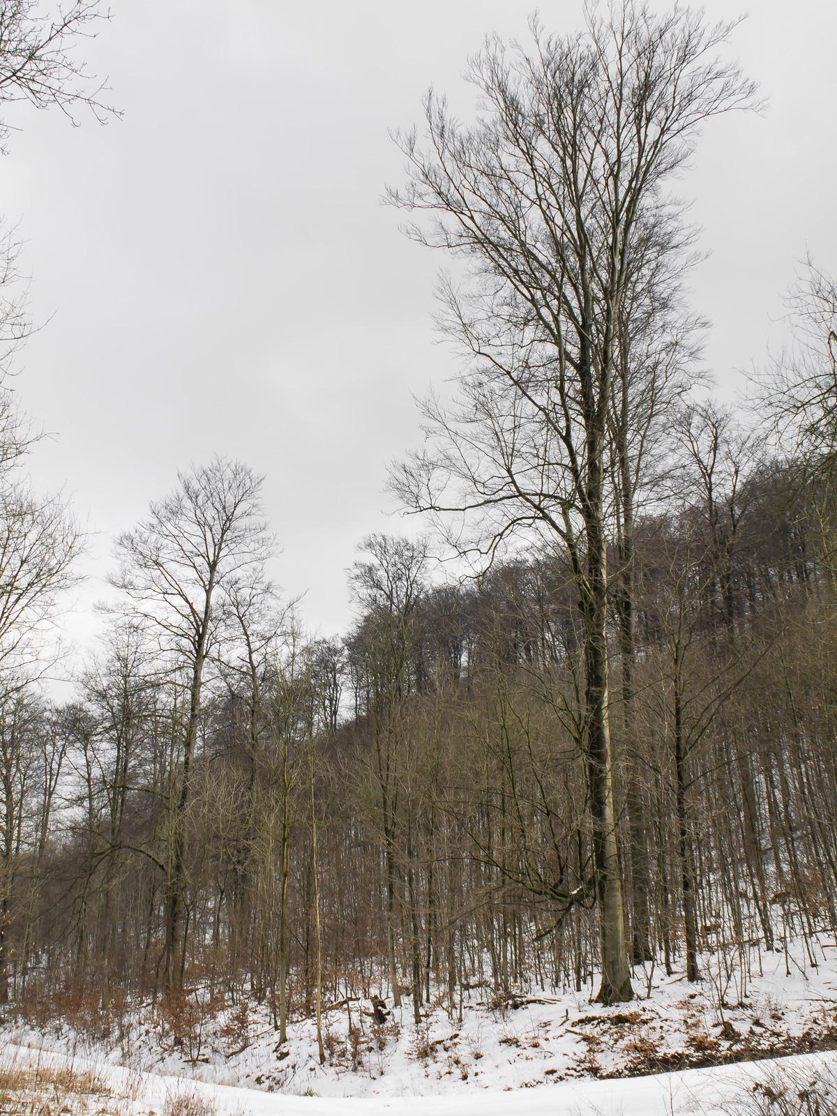 Stangenforst am Hohenstein