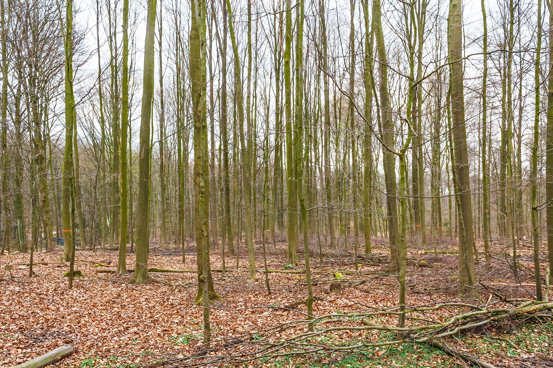 Förstertraum: Buchenstangenforst im Lührmannswald