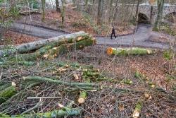Naturverjüngung unter Kronenabfall begraben
