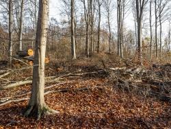 große Lücken klaffen im einst dichten Buchenwald