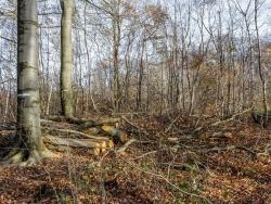 unter meterhohen Kronenabfällen begrabener Waldboden