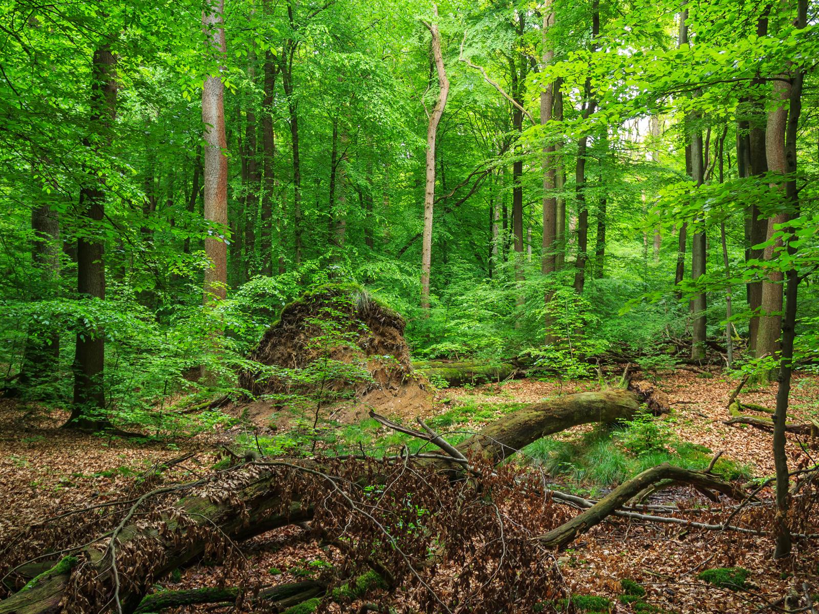 2 starke, liegende tote Bäume mit stehendem Wurzelteller