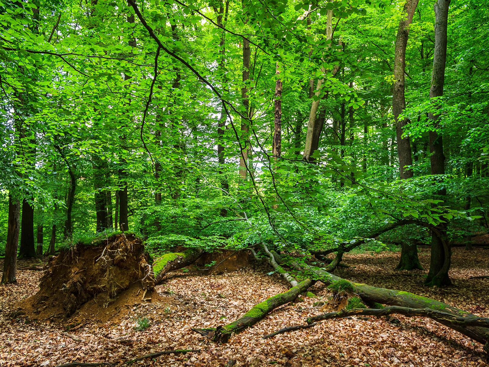 mehrere liegende Biotopbäume