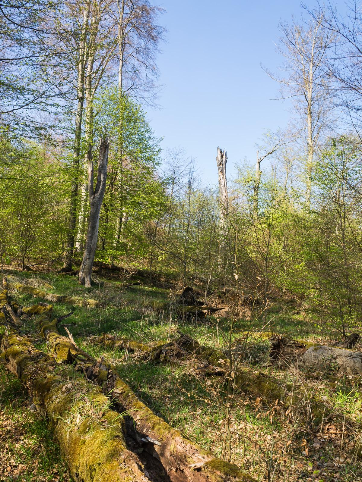 Riesige Mengen liegenden und stehenden Totholzes