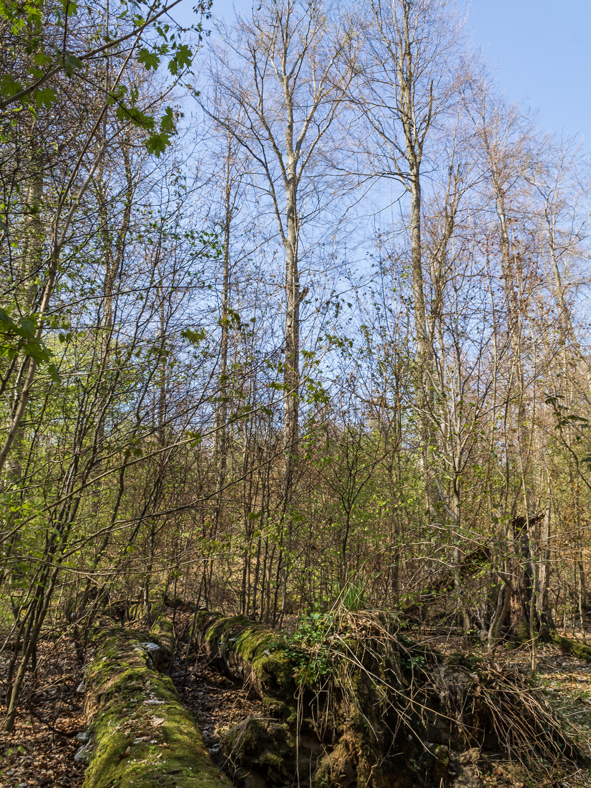 Jahrzehntealte liegende Totholzstämme