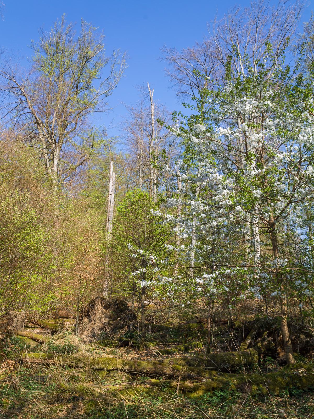 Blühende Vogelkirsche im Buchen-Urwald