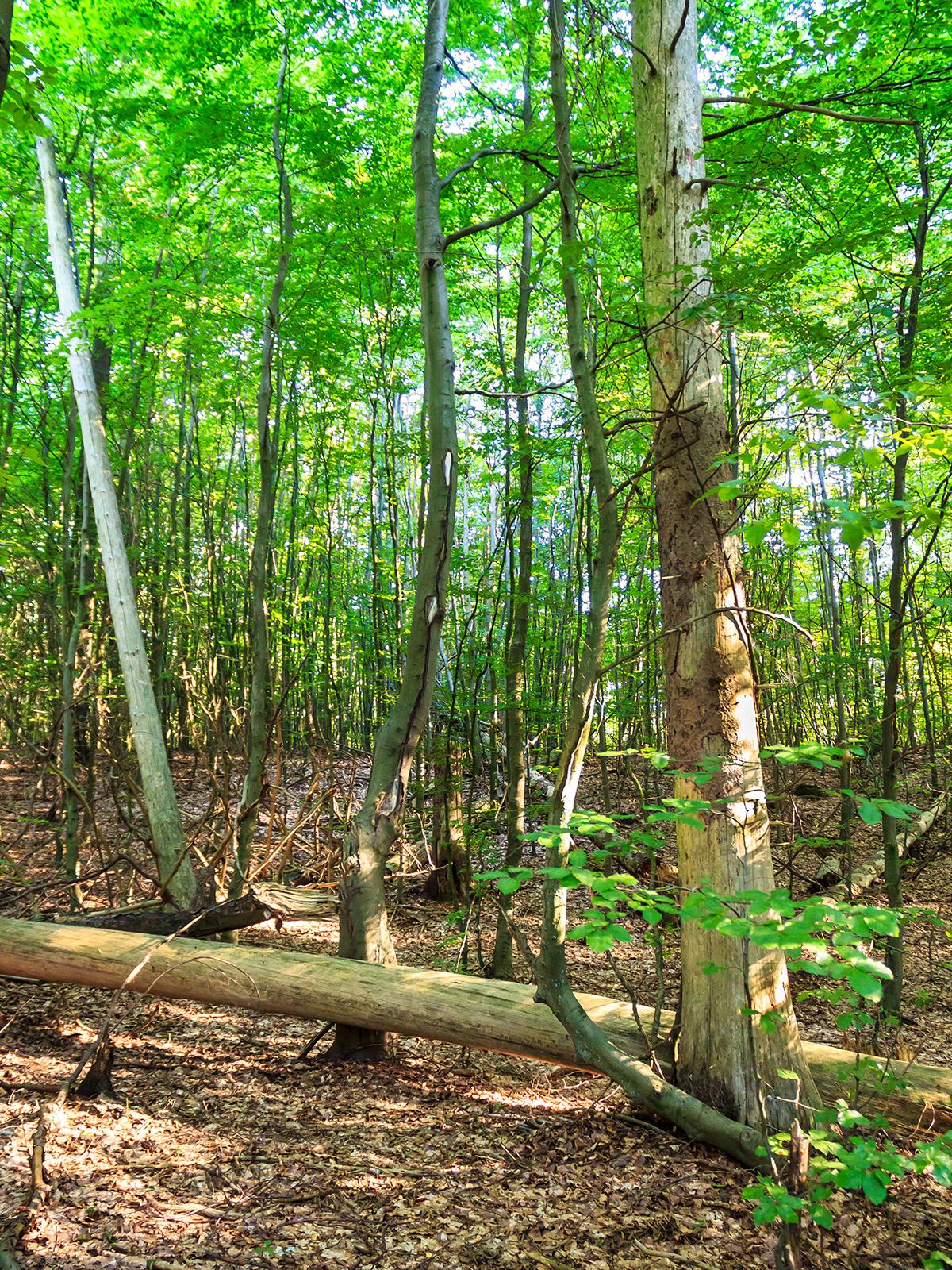 starkes liegendes und stehendes Totholz