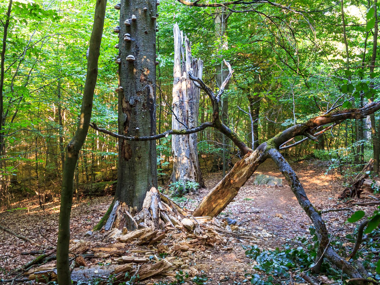 starkes stehendes Totholz direkt am Wanderweg