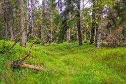 relativ gut sichtbarer Trail durch den Brockenurwald