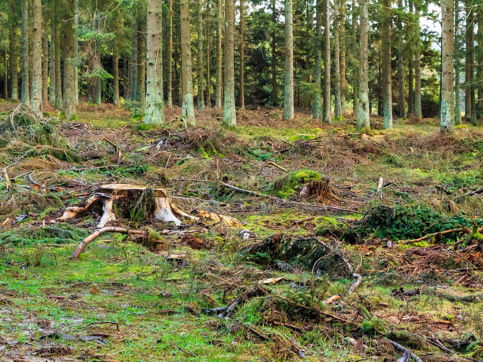 frische und alte Stubben, verdichteter Boden links im Vordergrund
