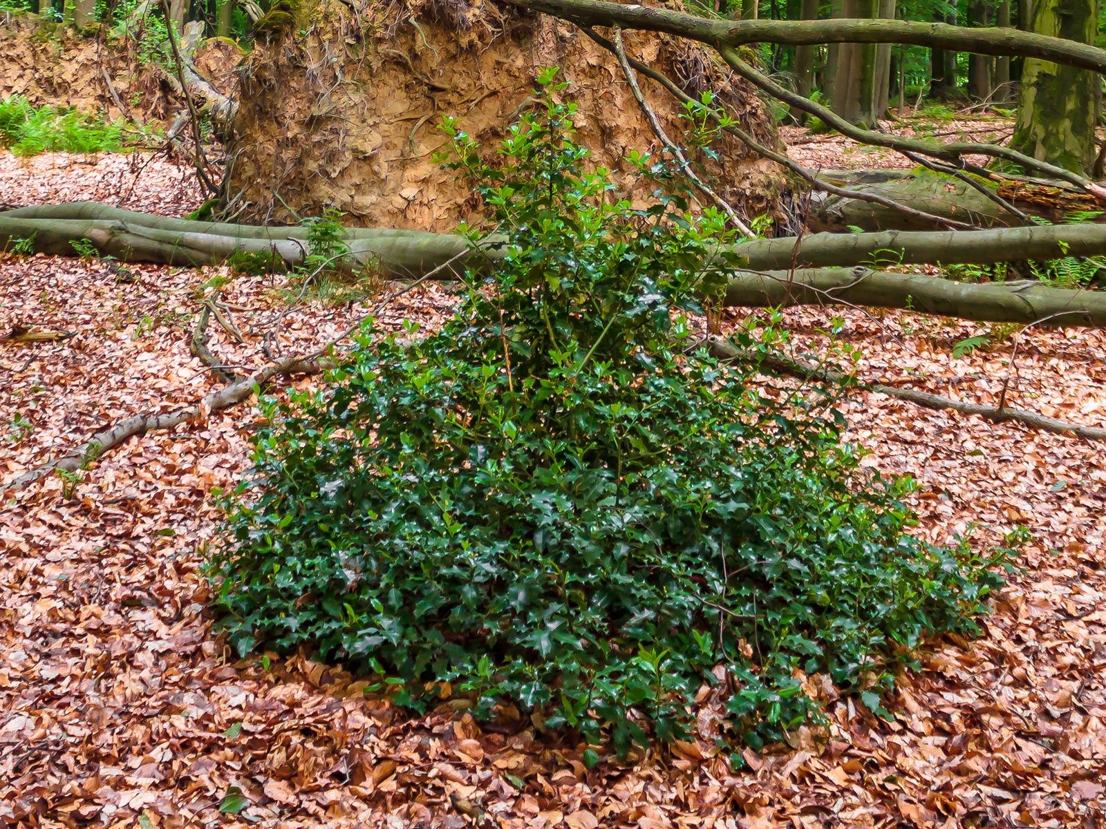Bonsai-Stechpalme auf Windwurffläche