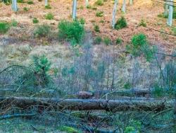 mindestens 5 alte Fichtenstubben, im Vordergrund einige Birken