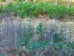 Kiefernwald im Bachtal: Folge überhöhter Wildbestände