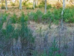 im Hintergrund reichlich Fichtenverjüngung im Laubwald