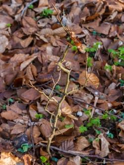 Bonsai-Buche ohne Überlebenschance