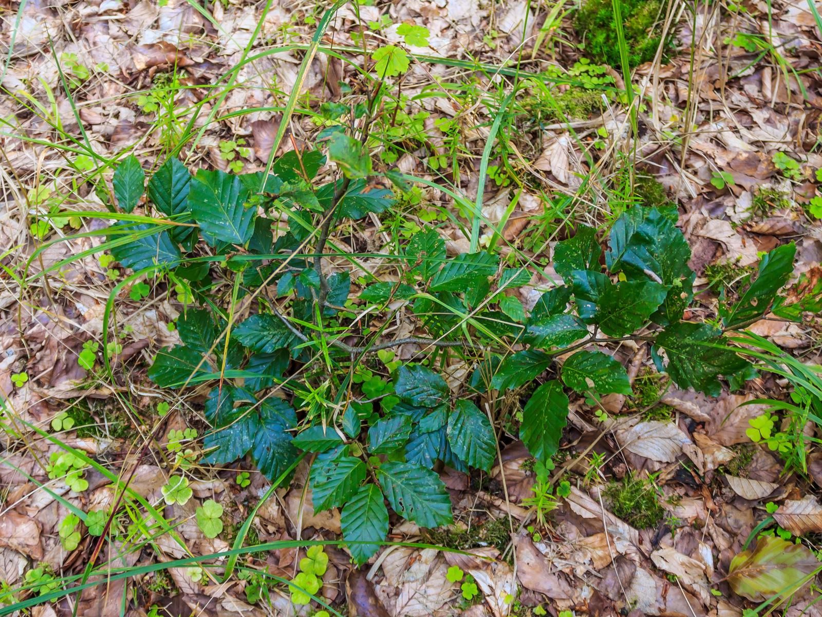 am Boden entlang kriechende Bonsaibuche