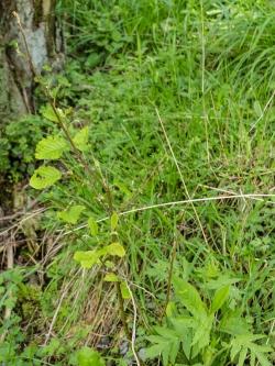 Verbissschäden an neu gepflanzter Erle