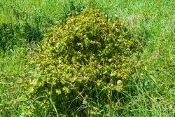 Buche, durch Verbiss bonsaiförmig