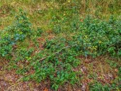 Bonsaibuchen am Wanderweg im Süden des Zuschlags