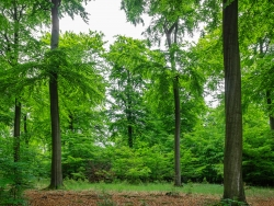 Verjüngung hinter ehemaligem Zaun unter Kronenlücke