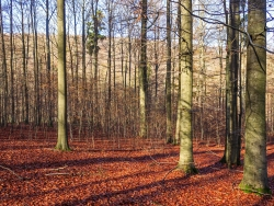 nicht verbissene Naturverjüngung im geschlossenen Buchenwald