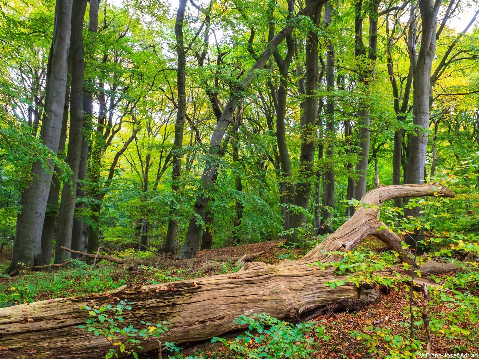 starkes liegendes Totholz vor dichtgedrängten Altbuchen