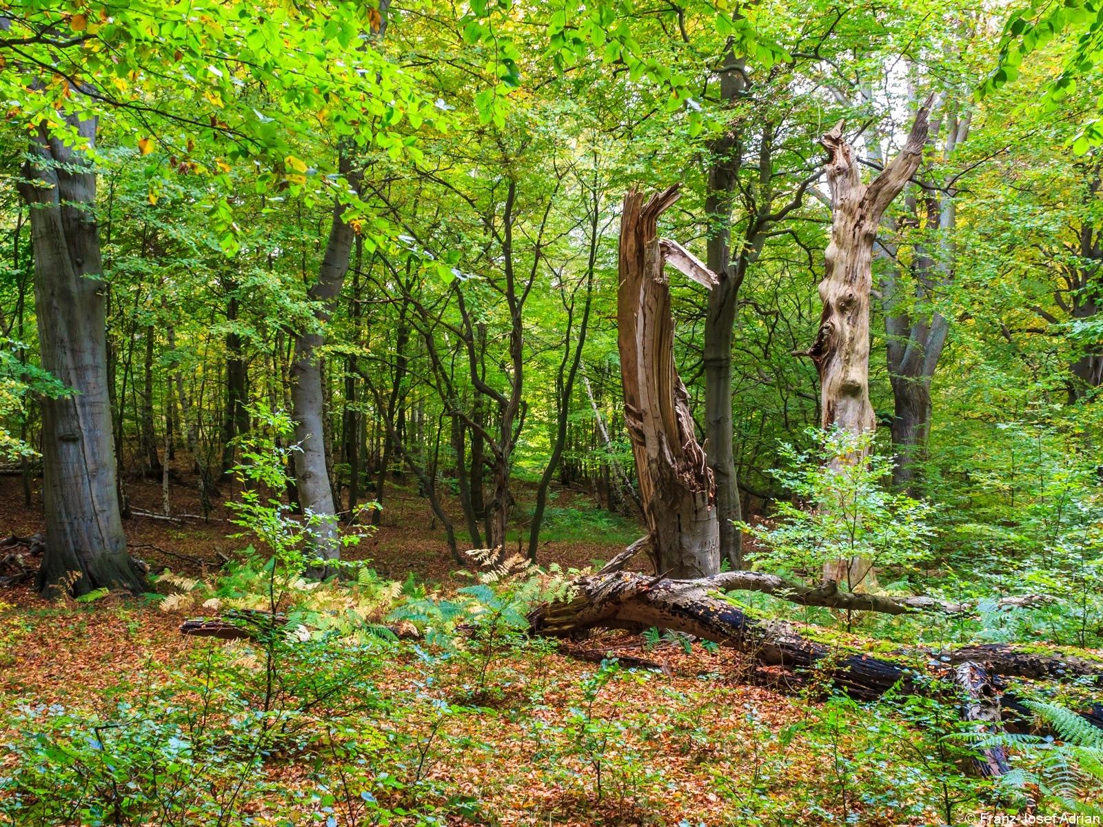 natürliche Buchenverjüngung inmitten von Totholz