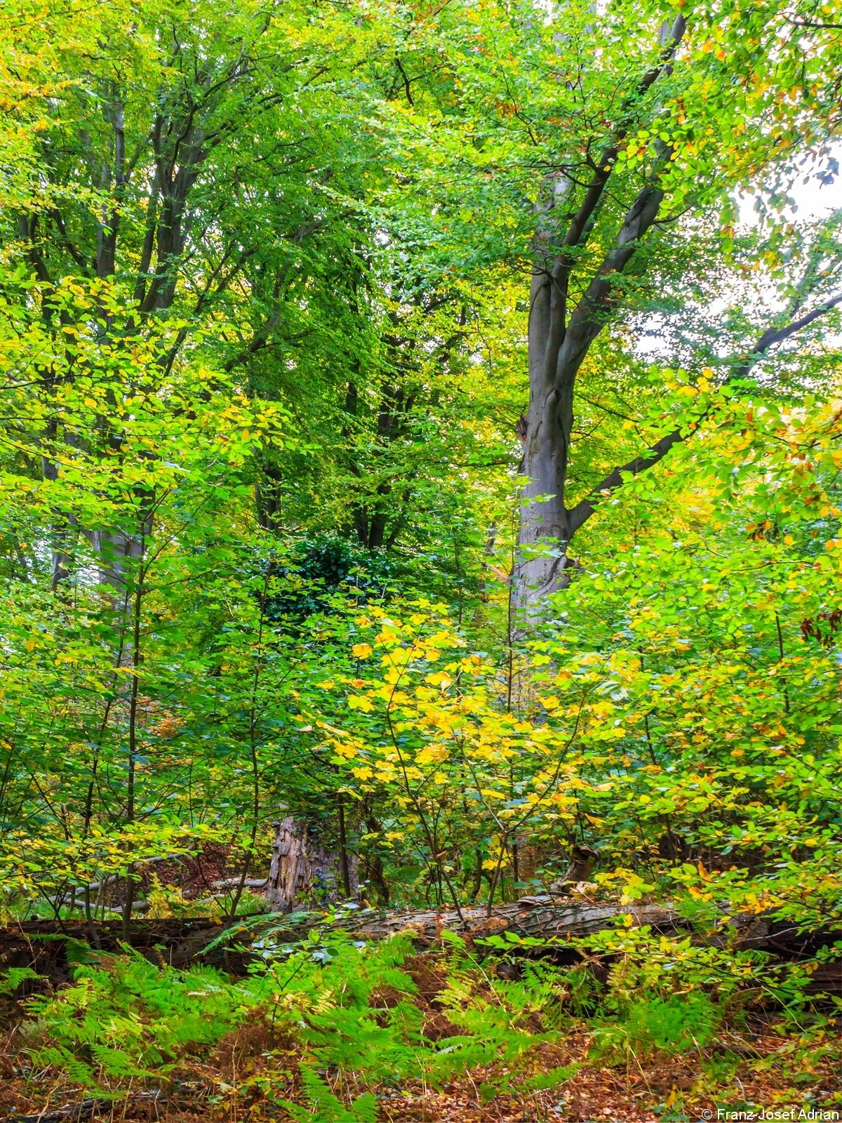 Naturverjüngung aus Bergahorn und Buche