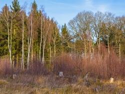 Streifen junger Birken hinter alten Fichtenstubben