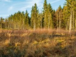 junge Birken in Konkurrenz mit Schlagflurstauden und -gräsern