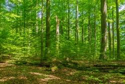 Naturverjüngung in ehemaliger Baumsturzlücke