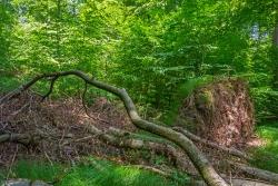 dichte Buchenverjüngung in Baumsturzlücke
