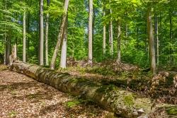 Naturnähezeiger Zunderschwamm an starkem liegendem Totholz