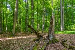 Totholzstrunk vor majestätischem Buchendom