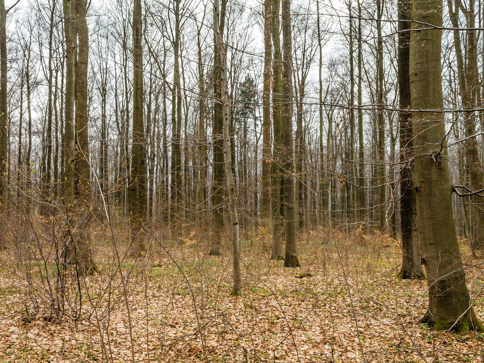 Buchen im Naturwald Wallmannsort