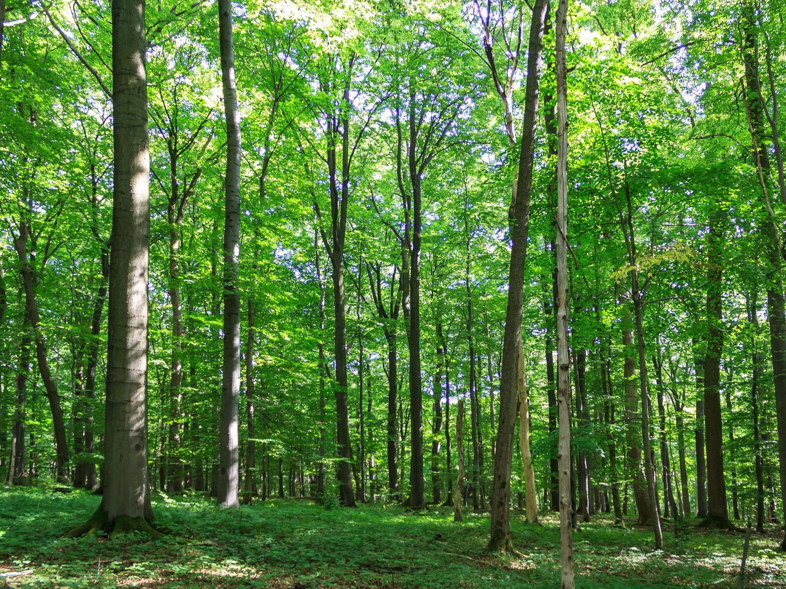 Ahorn-Naturverjüngung am Waldboden