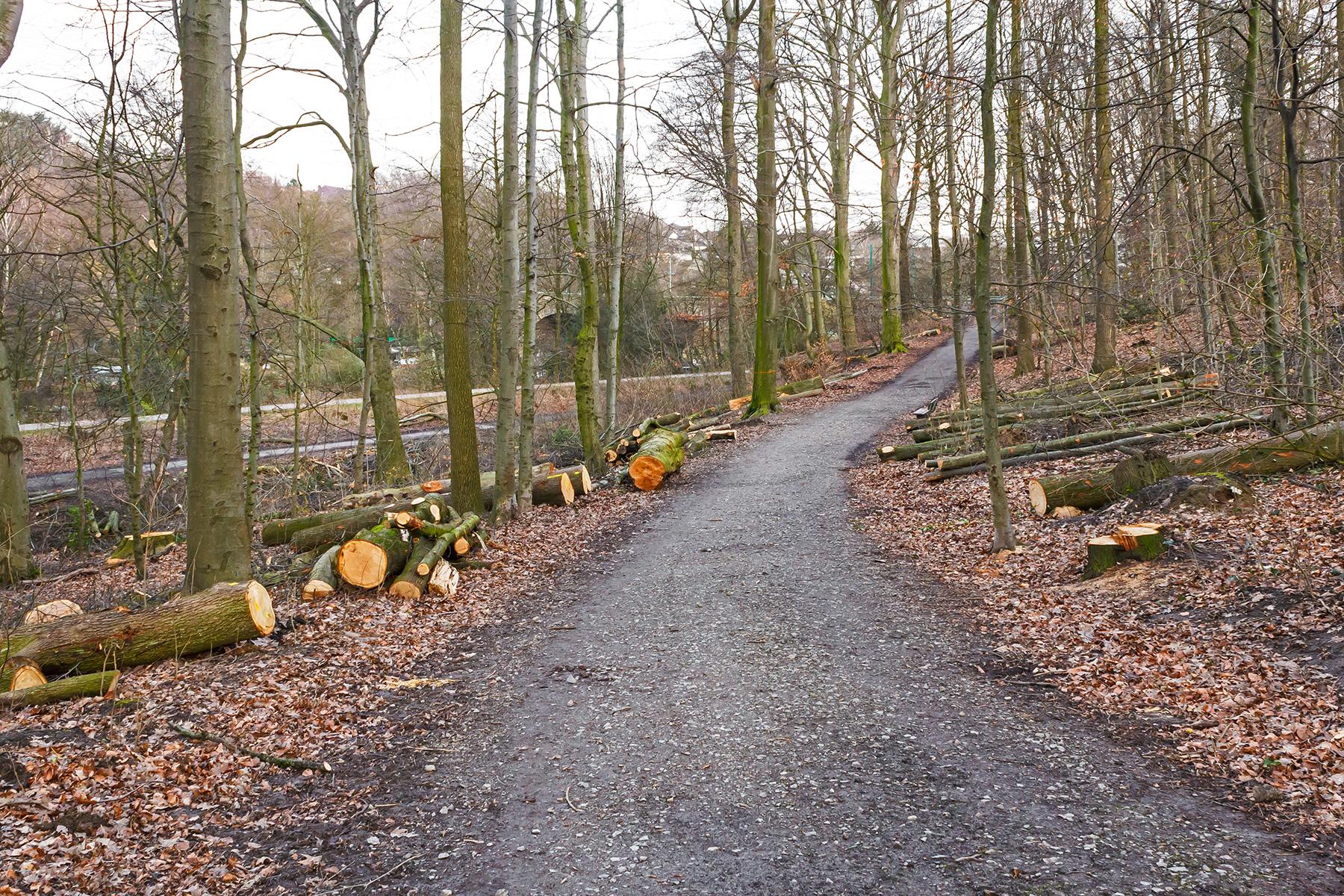 überall gefällte Bäume in der Nähe des Schleifkottenwegs