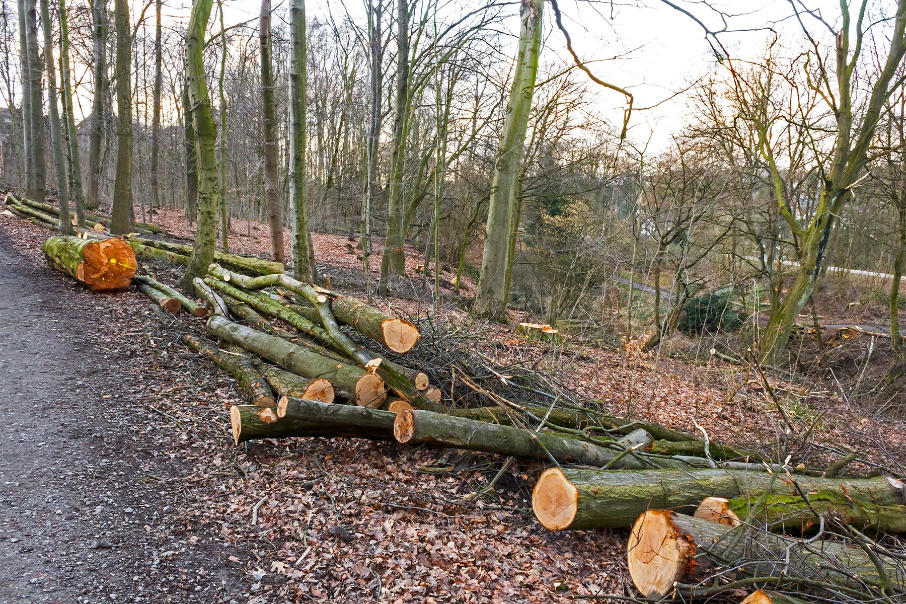 Ergebnis: ein holzarmer, lichter Wald mit dünnen Bäumen