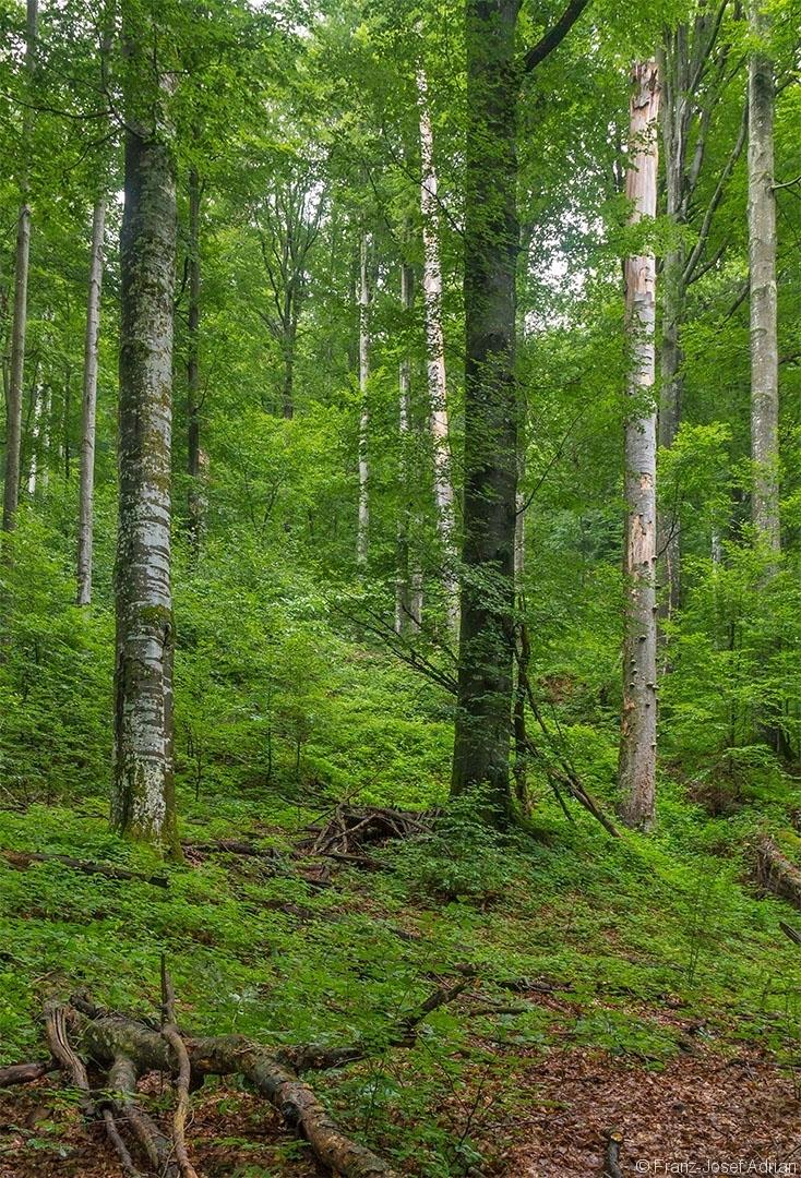 halbrechts ein sehr hoher Zunderschwammbaum inmitten alter Urwaldriesen und reicher Naturverjüngung