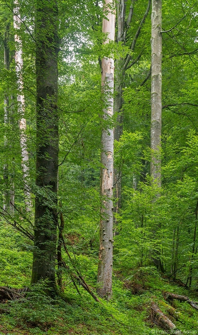 in der Mitte der sehr hohe Zunderschwammbaum aus dem Foto oben