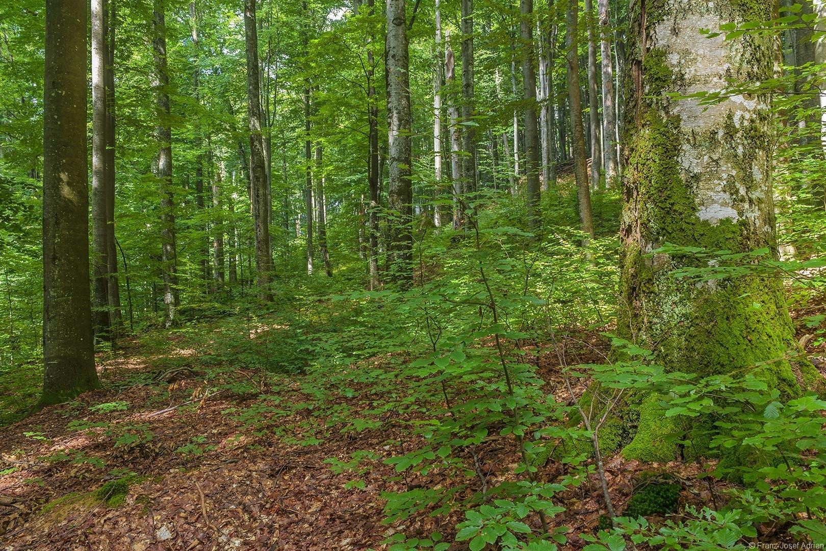 strukturreicher, ungleichaltriger Buchenurwald