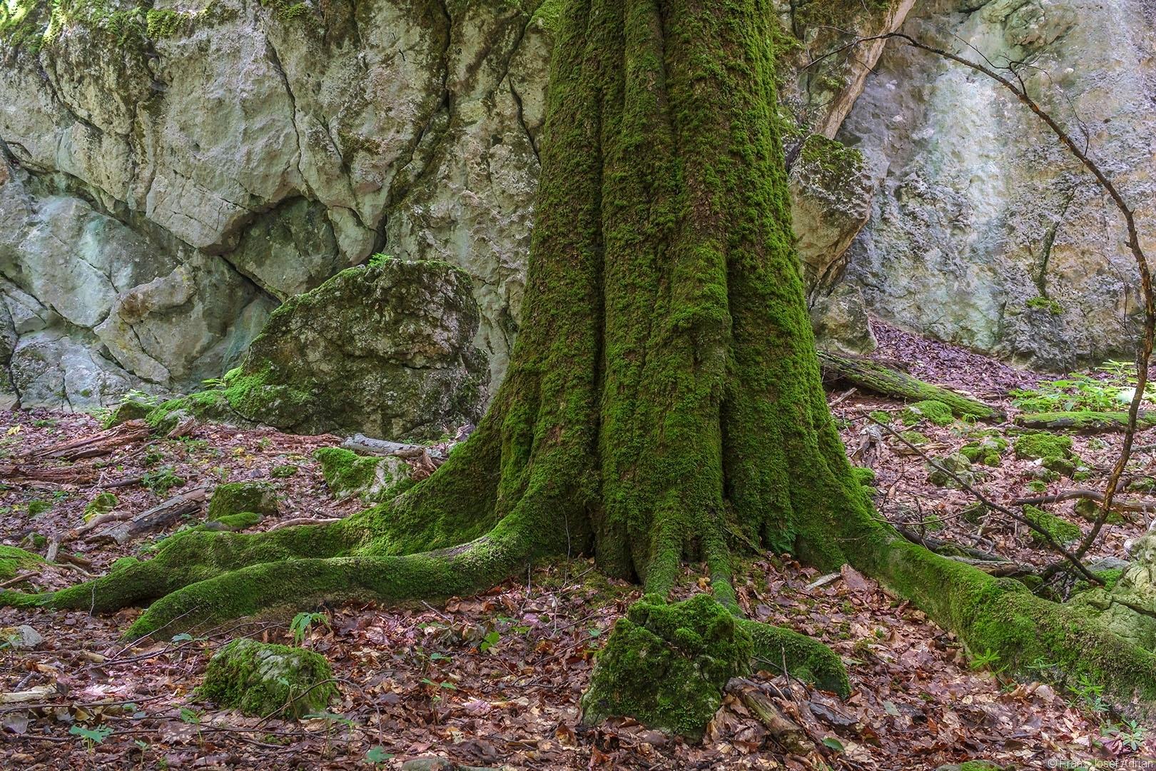 Uraltbuche am Fuß des Riesenfelsens Welyka Kopyzja