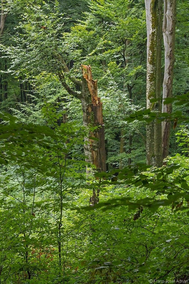Ersatzkronenbaum in unmittelbarer Nähe der Milchsteinhöhle