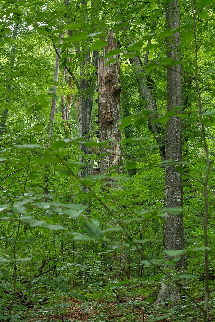 Zunderschwammbaum im Urwalddickicht nahe der Milchsteinhöhle