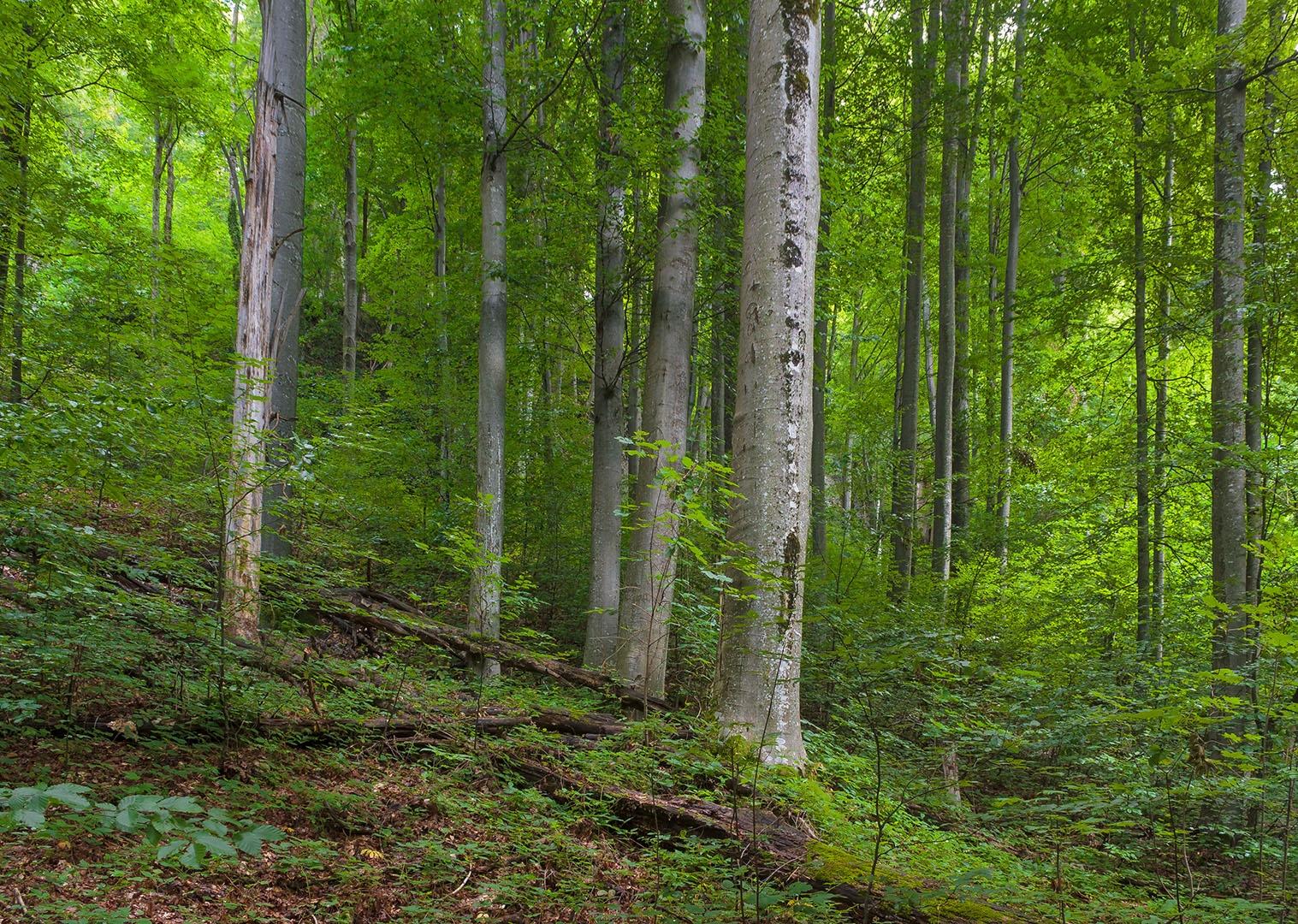 Buchenurwald in der Nähe der Milchsteinhöhle, im Vordergrund ein junger Bergahorn