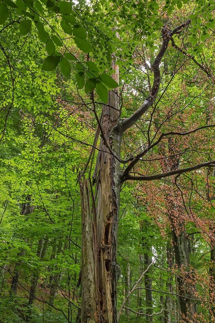bizarrer Totholzbaum mit abgestorbenen Blättern und Höhlenetagen