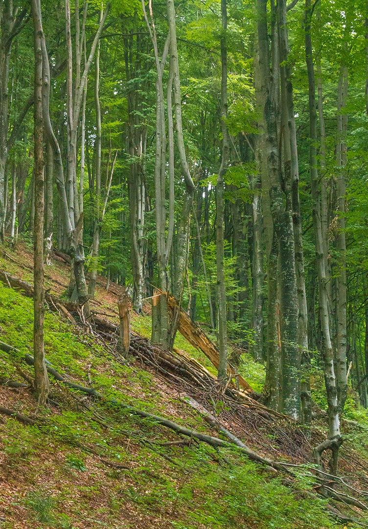 totholzreicher junger Wald mit bizarren Jungbuchen