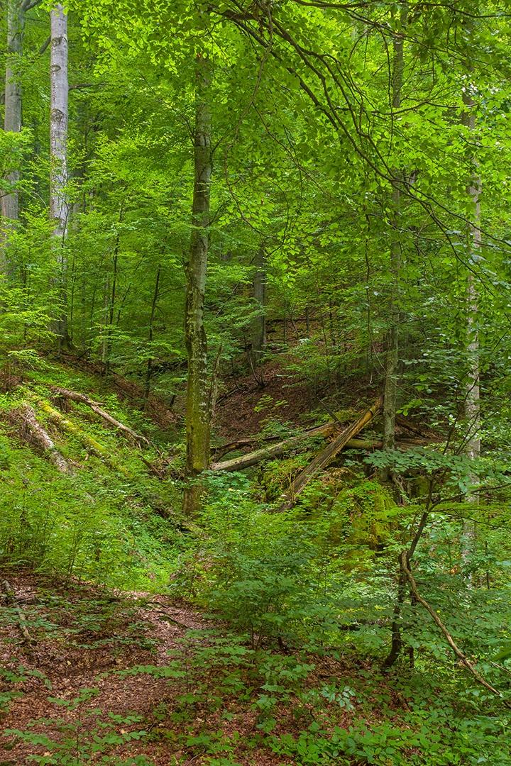 rechts neben dem Zunderschwammbaum aus dem Foto oben: viele dicke Totholzstämme im Tal eines kleinen Bachs, in der Mitte eine alte bemooste Buche mit abgebrochenem Starkast unten rechts